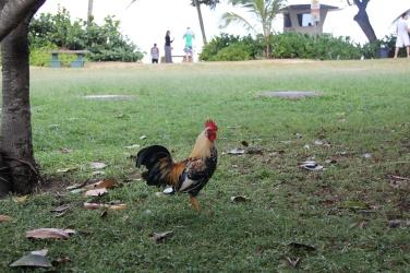 Cock Hawaii